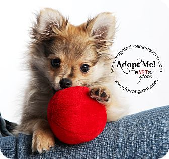 Omaha Ne Pomeranian Meet Kippy A Pet For Adoption
