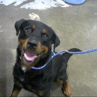 Rottweiler Puppies For Sale In Toledo Ohio Adoptapet Com