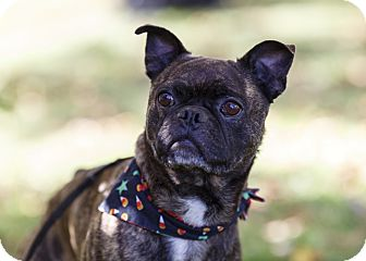 ile perrot qc boston terrier meet marble a dog for adoption