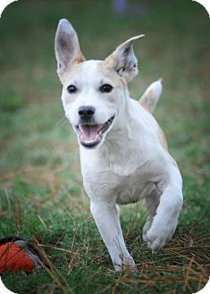 Parson Russell Terrier/Labrador Retriever Mix Puppy for adoption in Seattle, Washington - Inga
