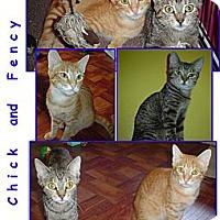 Adopt A Pet :: Chick - Bunnell, FL