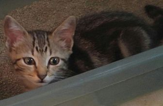 Adopt A Pet :: Daisy  - Virginia Beach, VA