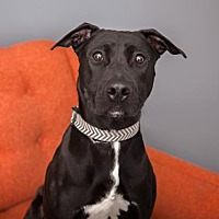 Mixed Breed (Large) Mix Dog for adoption in Mission Hills, California - Merle