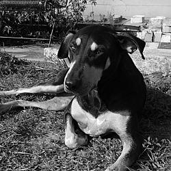 Rottweiler Puppies In Orlando