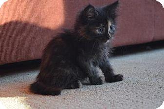 Domestic Mediumhair Cat for adoption in Walworth, New York - Ginny