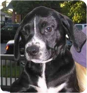 Retriever (Unknown Type)/American Pit Bull Terrier Mix Puppy for adoption in El Segundo, California - Lab Mix Pup 2