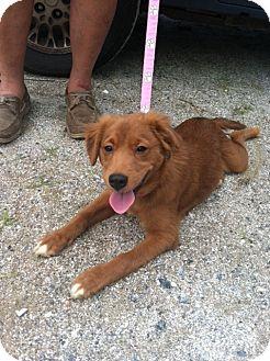Edisto Island Sc Irish Setter Meet Cami A Pet For Adoption