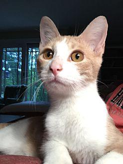 Adopt A Pet :: KELLAN  - Northwood, NH