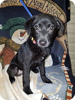 Labrador Retriever Mix Puppy for adoption in Plainfield, Illinois - Tina