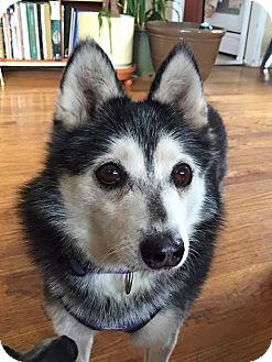 Denver Co Siberian Husky Meet Miki A Pet For Adoption