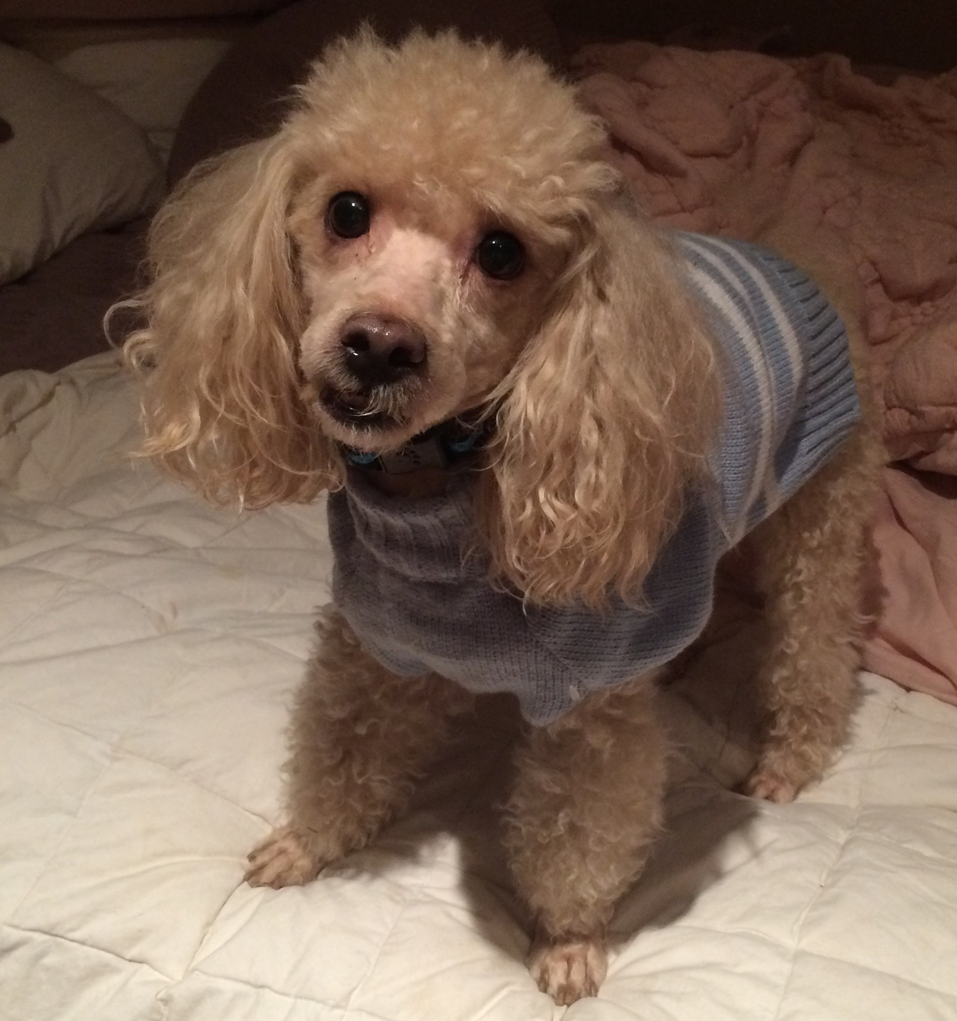 Warwick Ny Poodle Miniature Meet Champagne 10 Lbs A Pet For Adoption
