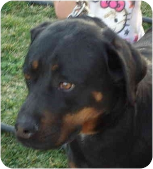 Quail Valley Ca Rottweiler Meet Demon A Pet For Adoption