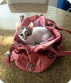 Domestic Shorthair Kitten for adoption in Chandler, Arizona - Alvin
