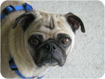 Pug Dog for adoption in Windermere, Florida - Dino
