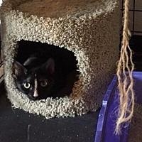 Domestic Shorthair Cat for adoption in Freeport, New York - Cameo
