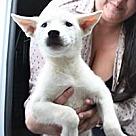 Adopt A Pet :: Eskie/Husky Avalanche