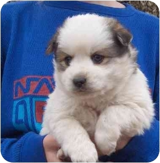 Hendersonville Nc Pomeranian Meet Fuzzy A Pet For Adoption