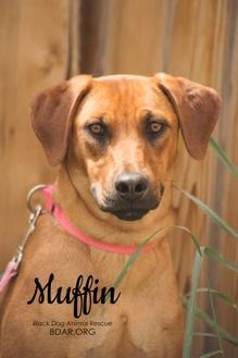 Shepherd (Unknown Type)/Rhodesian Ridgeback Mix Dog for adoption in Cheyenne, Wyoming - Muffin