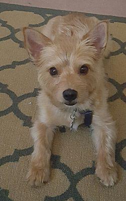 Richmond Va Yorkie Yorkshire Terrier Meet Goldie A Pet For