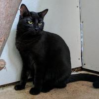 Adopt A Pet :: Nachelle - New Freedom, PA