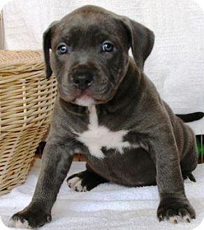 Gilbert Az American Pit Bull Terrier Meet Haven A Pet For Adoption