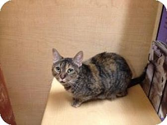 Domestic Shorthair Cat for adoption in East Stroudsburg, Pennsylvania - Lizzie