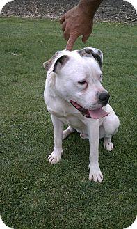 American Bulldog Mix Dog for adoption in Easton, Illinois - Butch