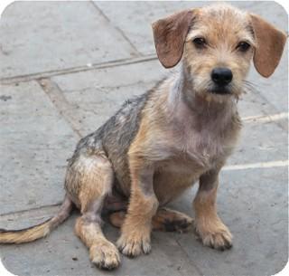 Norwalk, CT - Wirehaired Fox Terrier. Meet Diesel a Dog for Adoption.