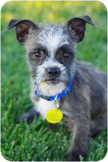Boston Terrier/Schnauzer (Miniature) Mix Puppy for adoption in Westminster, Colorado - D.C.