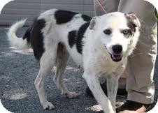 Australian Shepherd/Border Collie Mix Dog for adoption in Washington, D.C. - Daphne($200 adoption fee)
