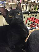 Adopt a Pet :: Ahsha - Columbia, SC -  Domestic Shorthair