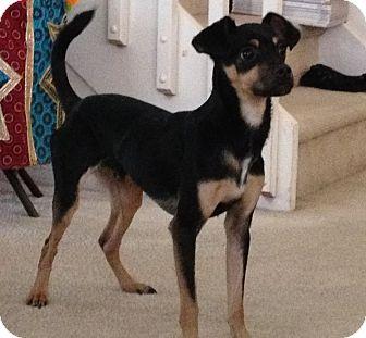 Miami Fl Miniature Pinscher Meet Jefferson A Pet For Adoption