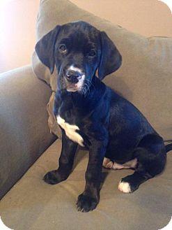 Labrador Retriever Mix Puppy for adoption in Harrisburg, North Carolina - Kaiser