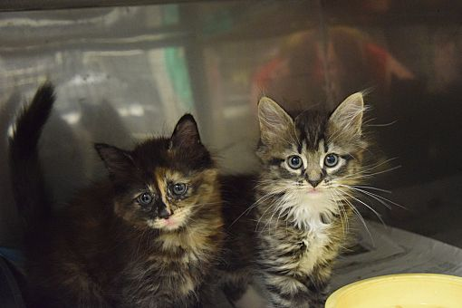 Pottsville Pa Maine Coon Meet Maine Coon Kittens A Pet For Adoption