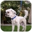 Photo 3 - Lhasa Apso/Poodle (Miniature) Mix Dog for adoption in Van Nuys, California - Gus