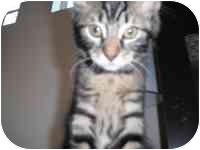 Domestic Mediumhair Kitten for adoption in Tampa, Florida - Baby Norman