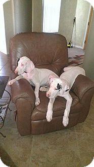 Great Dane Puppy for adoption in Phoenix, Arizona - Gracie in Tucson