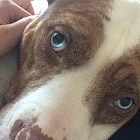 Adopt A Pet :: Brie - Spotsylvania, VA