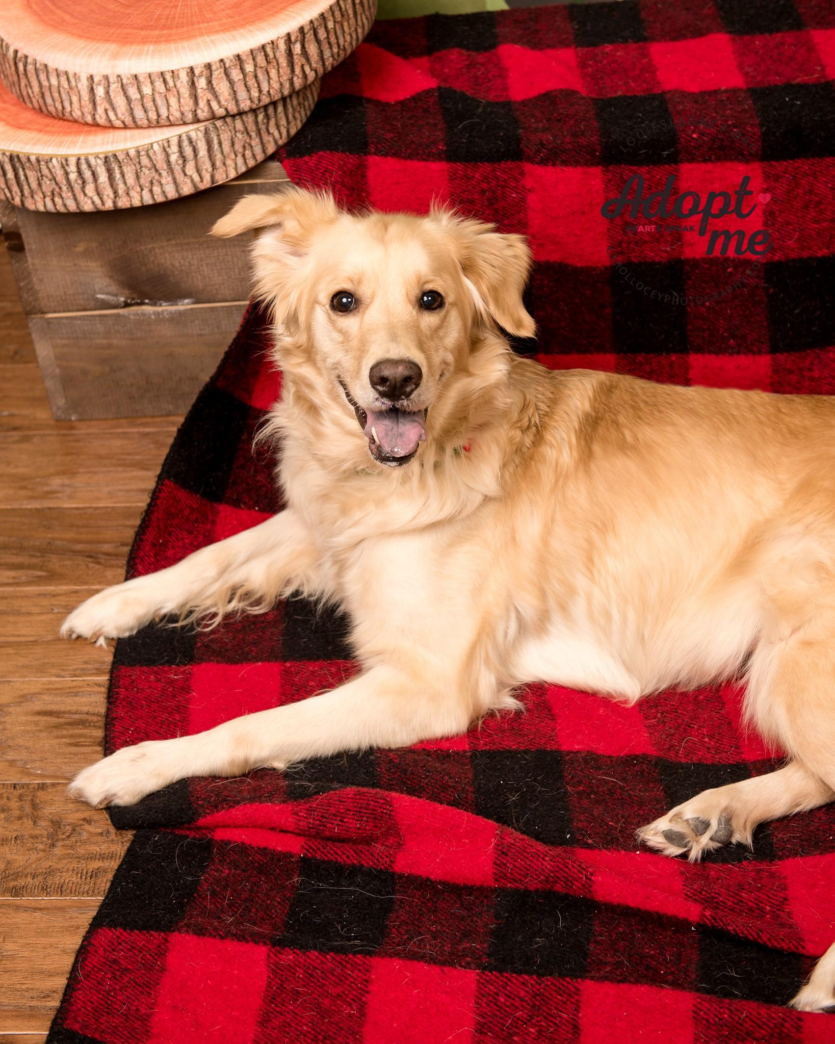 Cincinnati, OH - Golden Retriever  Meet Dixie a Pet for