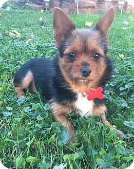 Yorkie, Yorkshire Terrier Mix Dog for adoption in Troy, Michigan - Louise