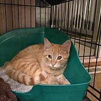 Adopt A Pet :: Ralphie - Saint Clair, MO