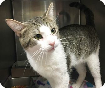Domestic Shorthair Cat for adoption in Taylor, Michigan - DONOVAN