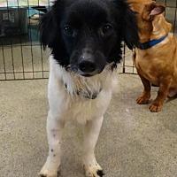 Adopt A Pet :: Squirt - Tacoma, WA