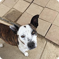 Bull Terrier Mix Dog for adoption in BONITA, California - Betty Davis