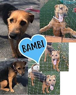 Adopt A Pet :: Bambi  - Renton, WA