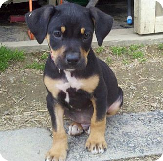 Bluetick Coonhound vs American Pit Bull Terrier  Breed