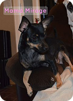 Chihuahua Mix Dog for adoption in Mesa, Arizona - Mama Mirage