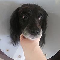Labradoodle Puppies for Sale in Arizona - Adoptapet com
