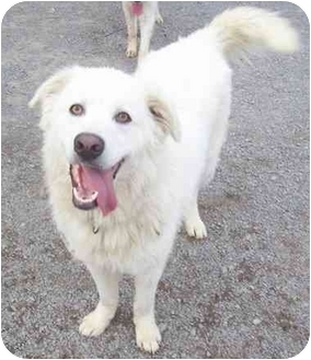 Howes Cave Ny Maremma Sheepdog Meet Comet On Hold A Pet For