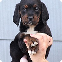 Adopt A Pet :: Bernie - Starkville, MS